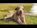 Собака ирландский волкодав - это удивительный пес с дружелюбным характером и бл