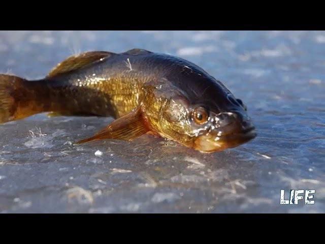 Зимняя рыбалка на ротана наживка, прикормка, снасти для успешной ловли!