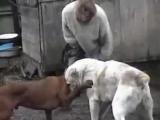 Собачьи Бои( Volkodav-Габо и  Vs. Tosa Inu-Моня)