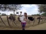 Кормление страусей,Oudshoorn