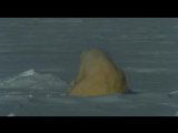 BBC Natural World 2009 - Polar Bears and Grizzlies (PDTV)