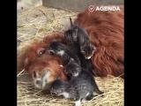 Корова, капибару и котята на отдыхе
