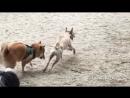Самая быстрая маленькая собачка