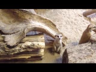 Сурикат. Маленький мангуст