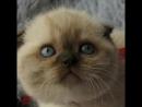 Продается шикарная шотландская девочка вислоушка в редком окрасе Цвет глаз голубой