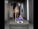 Нереально огромные собаки