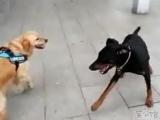 Этот пёс вырос на фильмах Ван Дамма