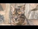 Самая редкая кошка в мире Asiatic golden cat азиатская золотая кошка