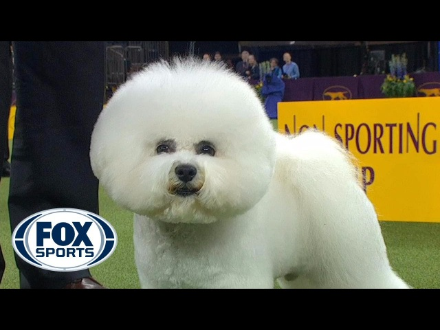 Watch Flynn the Bichon Frise win the 2018 Westminster Kennel Club Non Sporting Group | FOX SPORTS