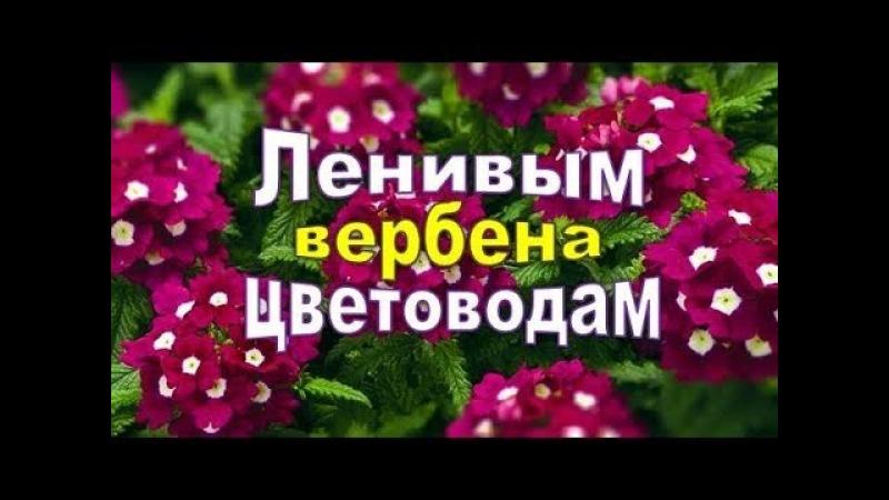 ✿ღ ✿ Для ленивых цветоводов,сажаем вербену ! Можно и не поливать рассаду!✿ღ ✿