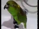 Поющий попугай Беловежская пуща, Птица счастья...и зеленый попугай