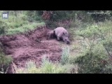 Heartbreaking moment baby rhino tries to wake killed mother