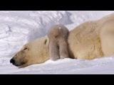 Polar Bear Cubs Take Their First Tentative Steps Planet Earth BBC Earth