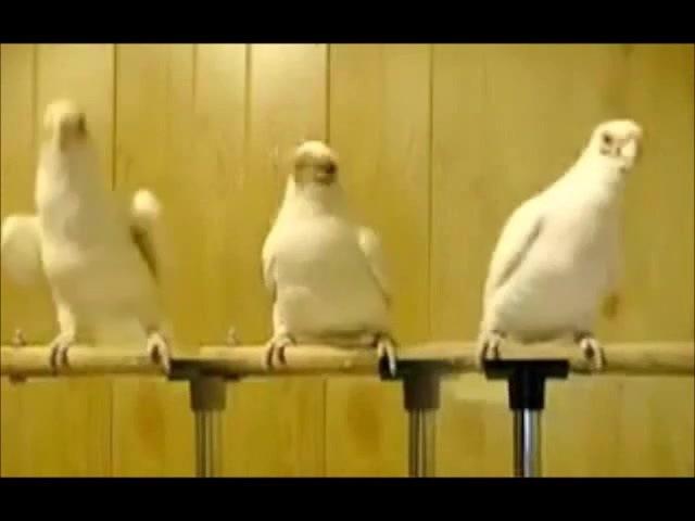 папугаи,тугева