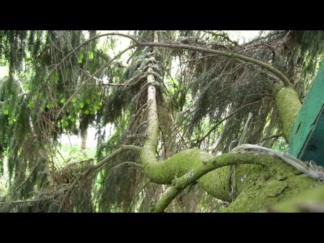 Ловля бродячих роев 2ч. Методы установки ловушек на деревьях.Практические советы.