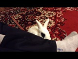 Прикол! Кролик лижет ноги хозяину!