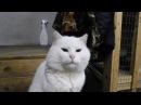 Белый кот.