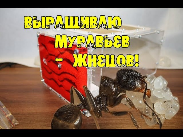 Выращиваю муравьев ШОК! Мой формикарий и Messor structor муравьи жнецы