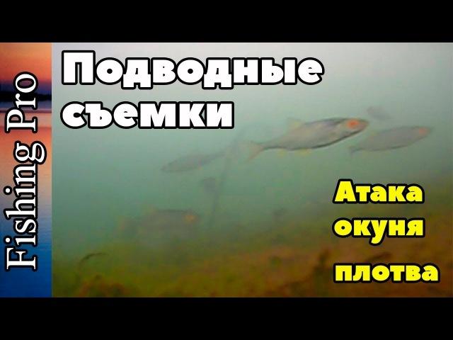 Подводные съемки поисковой системой видеонаблюдения Calypso. Атака окуня. Плотва