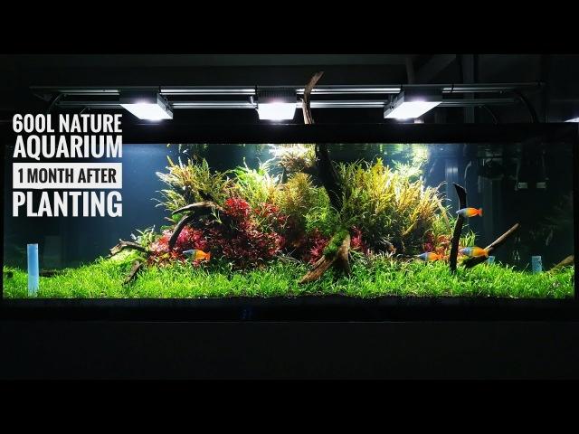 180cm | 600L Nature aquarium with 1 month after planting