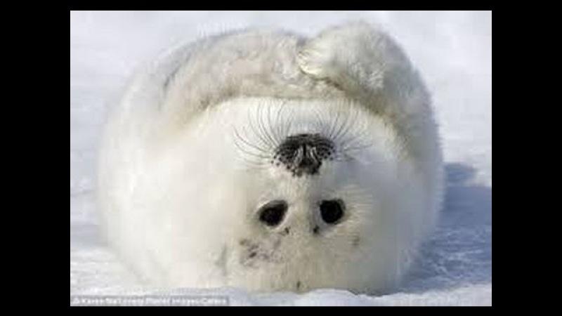 Самые Милые Животные Планеты (Морские Котики)Most Cute Animals of the Planet ( seals)