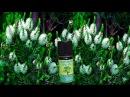 Ароматические масла. Эфирное масло чайного дерева – применение.