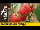 Особенности выращивания толстостенных перцев: знакомимся с гибридами от «Партнера» - 7 дач