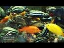Кормление пресноводных рыб в Тропическом дождевом лесу