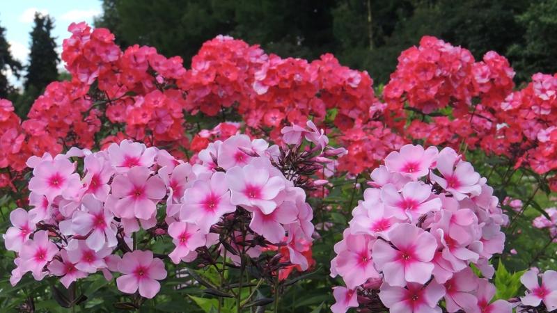 Цветут флоксы 'Розовая Сказка' и 'Саманта Смит' (Шаронова, 1965)