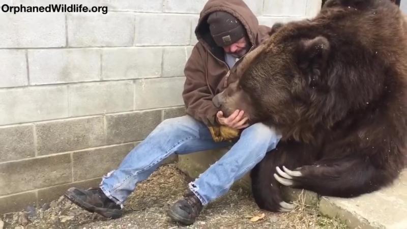 американец утешает больного медведя