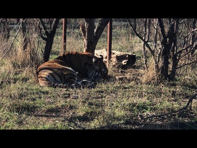 Скарлетт и новорожденные тигрята. Тайган. 13.12.2017