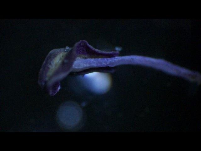 Пыльцевые зёрна Лисохвоста Лугового злаковое растение
