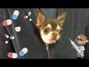Чихуахуа Фондю в ветеринарной клинике. Чего она боится и почему дрожит?