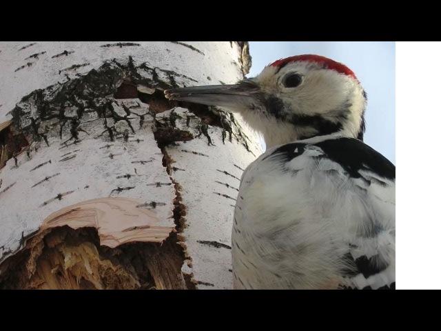 Белоспинный дятел идеальный разрушитель деревьев, White-backed woodpecker perfect tree destroyer