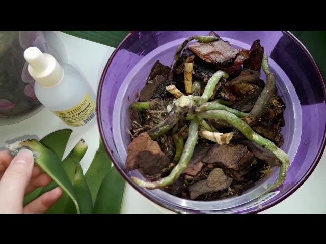 Орхидеи.Как спасти орхидею без точки роста?Сгнила точка роста,корни живые.