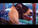 TRY NOT TO LAUGH Funny Goat Compilation 2017