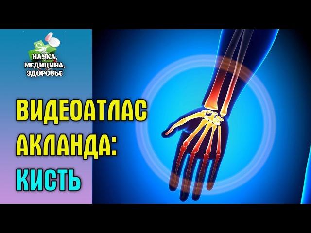 Анатомия человека. Видеоатлас доктора Акланда. Кисть и запястье