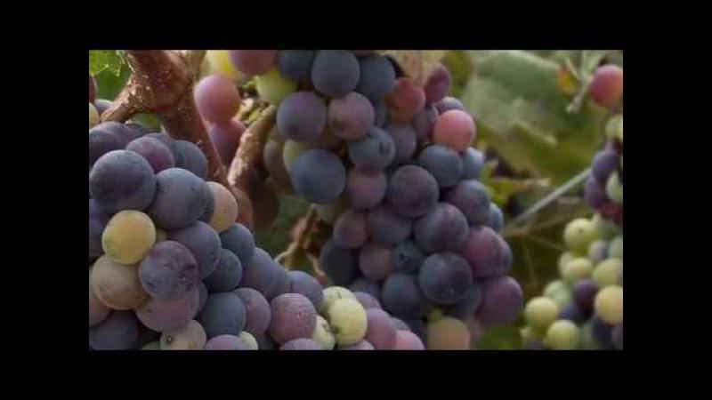 Виноградники осенью.