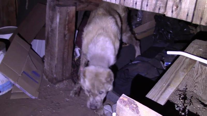Спасение 62. Собака погибала под крыльцом. Город Улан-Удэ
