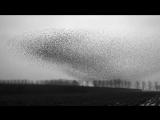 Захватывающие гипнотические движения сотен тысяч скворцов, летящих в огромных ст
