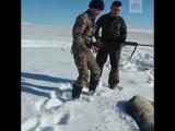 Раненный на охоте волк притворился мертвым, а потом вскочил и напал на охотника. Видео из Казахстана. https://t.me/joinchat/AAAA