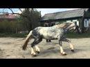 Сказочный жеребец Орловской породы(2)