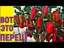 ВЫРАЩИВАНИЕ УРОЖАЙНОГО ПЕРЦА от семян до уборки урожая