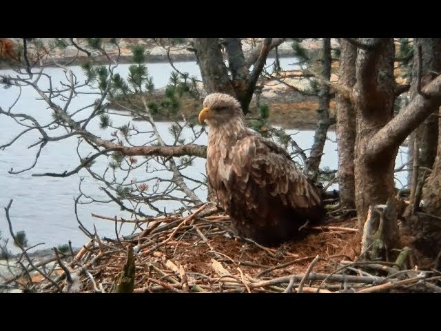 Smola Norway Eagle Cam ~ Baroness Baron Work On Nest Closeups Of Baroness 2.5.18