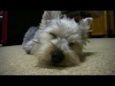 Sleepy Yorkshire Terrier たくさん遊んだら眠くなっちゃったヨークシャテリア