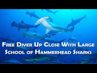 Free Diver Up Close With Large School of Hammerhead Sharks