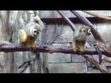 Обезьяна. Обыкновенная беличья обезьяна. Squirrel monkeys