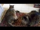 Драка двух толстых котов » Триникси