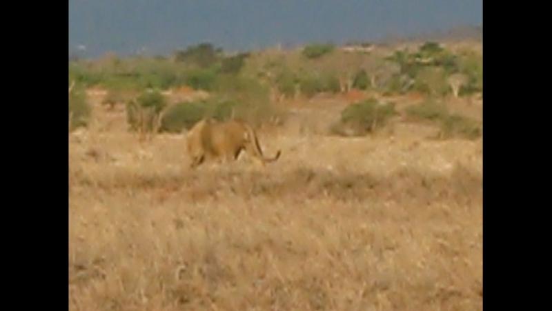 Лев в саване, территория парка Цаво, Кения, 1 ноября 2017 г. - Мой день рождения и мне такой подарок!