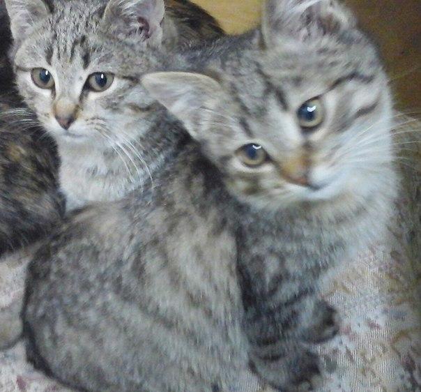 Иваново!!! Пристраиваются в добрые руки 2 котёнка,мальчик и девочка, о